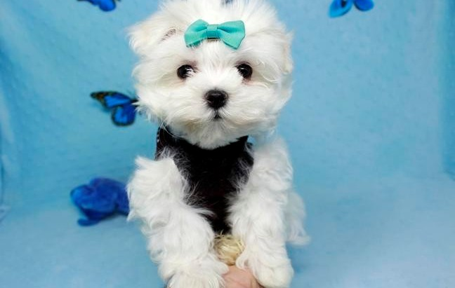 Amazing White Teacup Maltese Puppies Available Animals