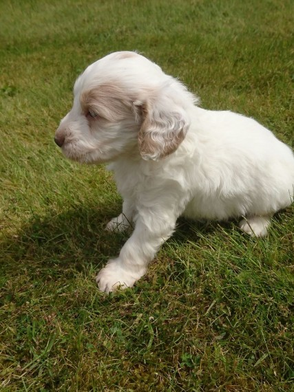 Apricot, Blonde & Parti Babies Sire Dna Pra Clear Animals 2