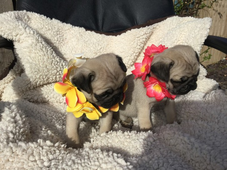 Available Pug Puppies for Sale All Puppies Purchase Will Be Delivered Next Day Animals 2