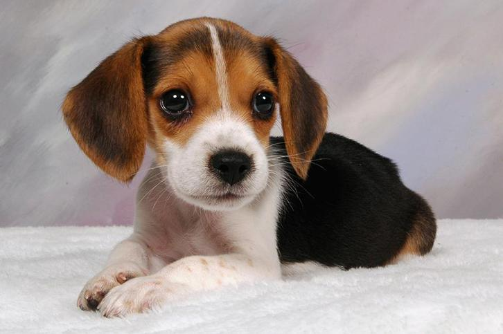Awesome BEAGLE... Animals