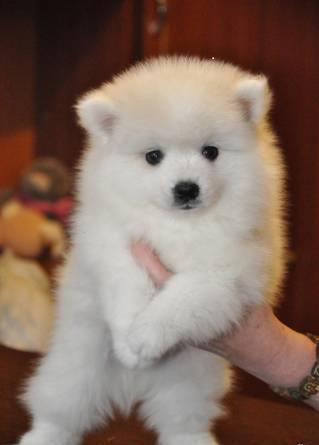 Awesome Pomeranian Puppies Animals 3