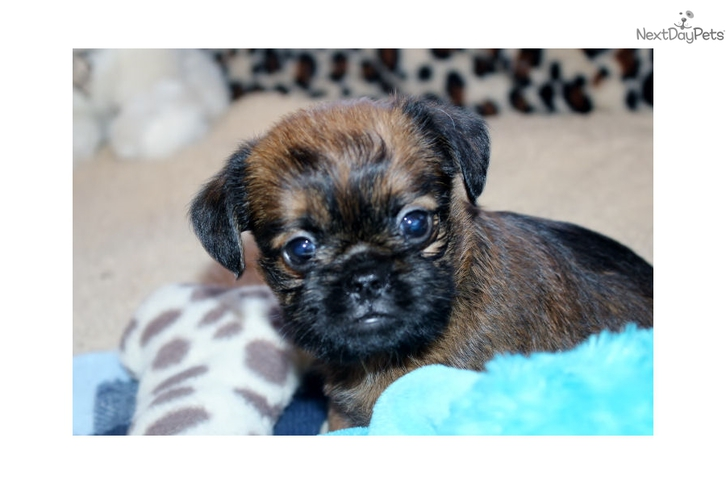 BABY BAGEL!!  Male Brussels Griffon Animals
