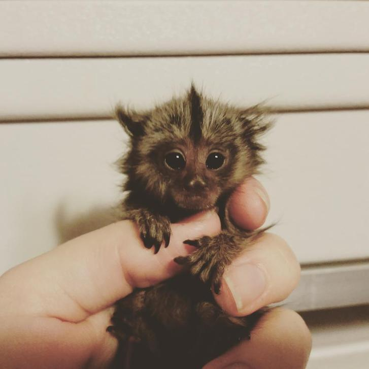 Baby Marmoset Male and Female Ready now,  Animals