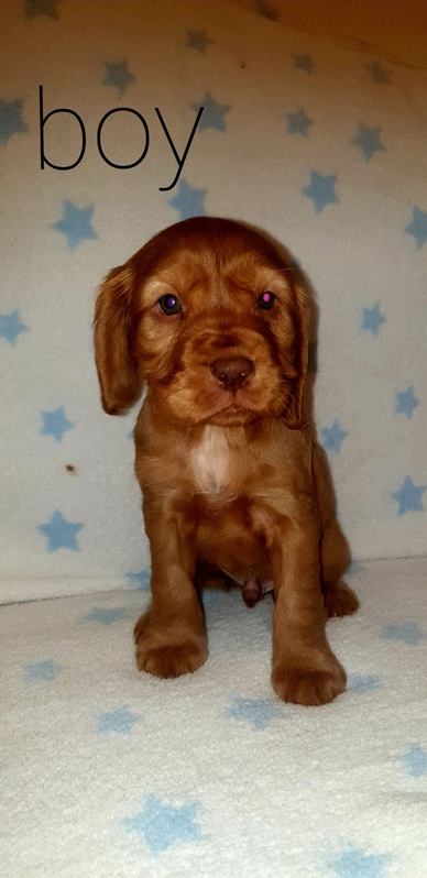 Beautiful  6 cocker spaniels  for sale Animals 3