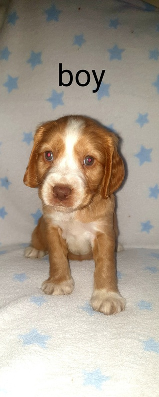 Beautiful  6 cocker spaniels  for sale Animals 4