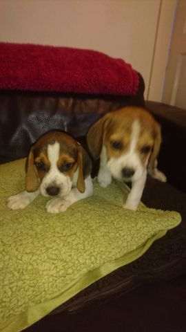 Beautiful Beagle Puppies Animals 3