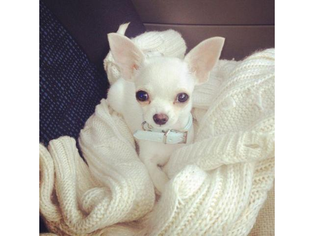 Beautiful Chihuahua Puppies Available! Animals