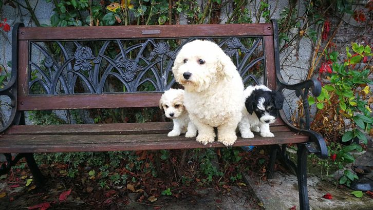 Beautiful Fluffy Cavashon puppies ready now. Animals 3