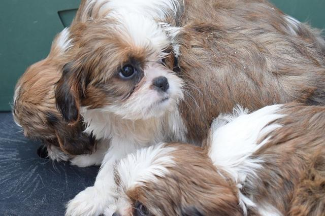 Beautiful Imperial Shih Tzu Puppies Animals 3
