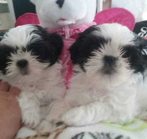 Beautiful K.c. Registered Shih Tzu's For Sale Animals 2