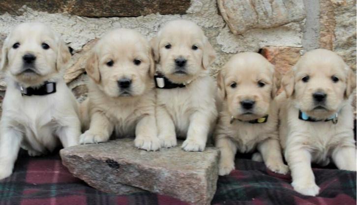 Beautiful KC registered Golden Retriever Puppies Animals
