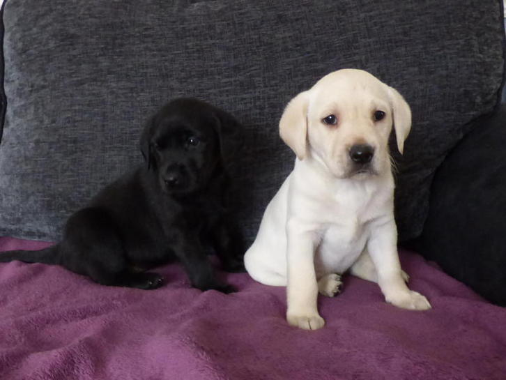 Beautiful Labrador Puppies From Health Tested Parents  Animals