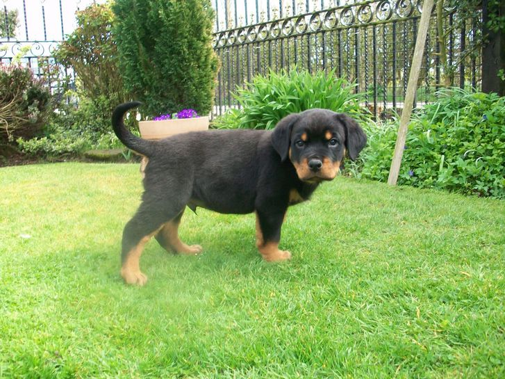 Excellent twin Rottweiler Puppies Animals 2