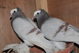 Beautiful and Lovely male and female Congo African Grey Parrots. Animals 2