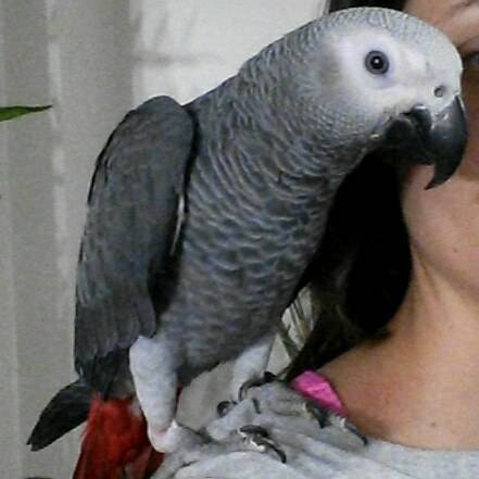 Beautiful and Lovely male and female Congo African Grey Parrots. Animals