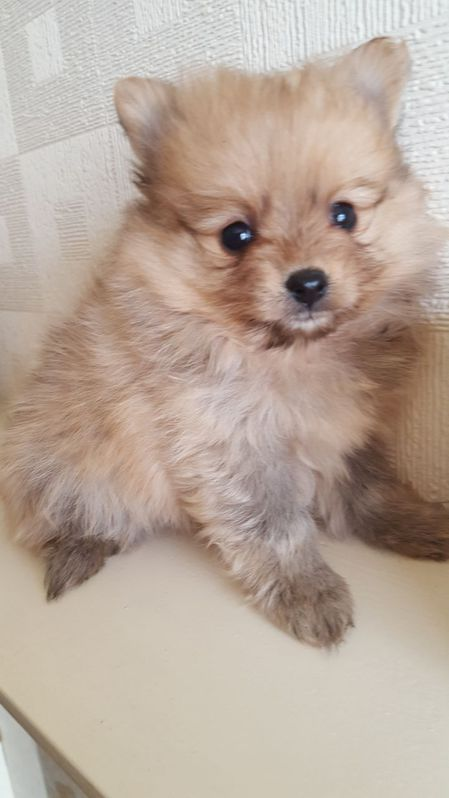 Beautiful pomeranians Antiquitaeten