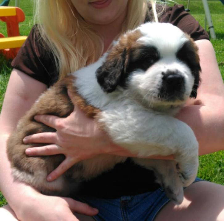 Beautifulls St .Bernard Puppies for sale !!!  Animals