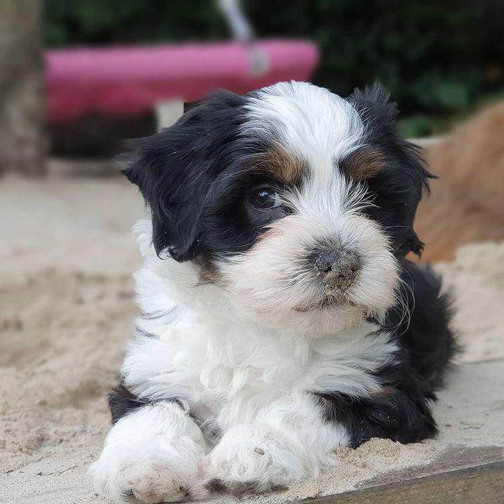 Belove Havanese puppies for good homes Animals 2