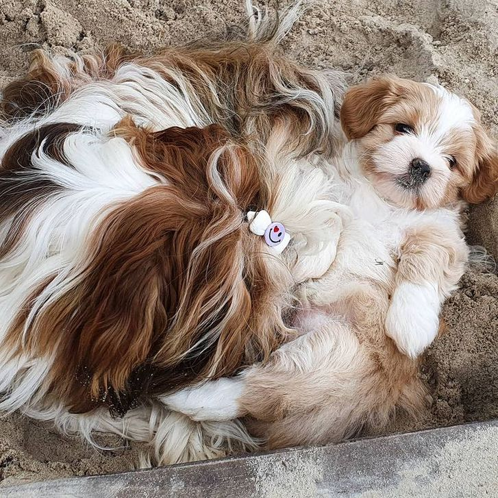 Belove Havanese puppies for good homes Animals 3