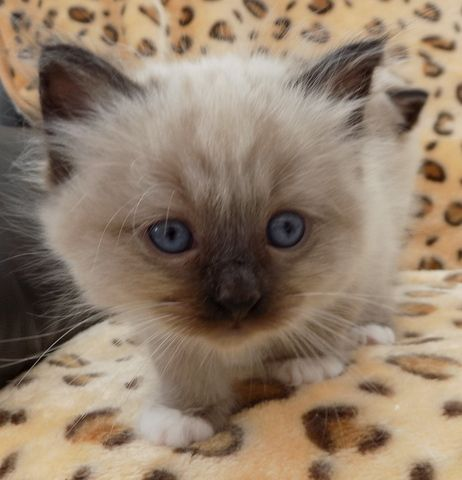 Blue Birman male kittens Animals