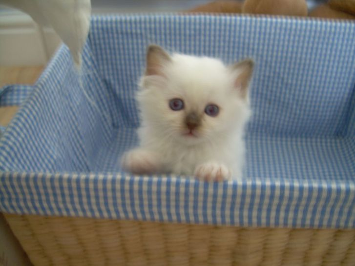 Blue Birman male kittens Animals 2