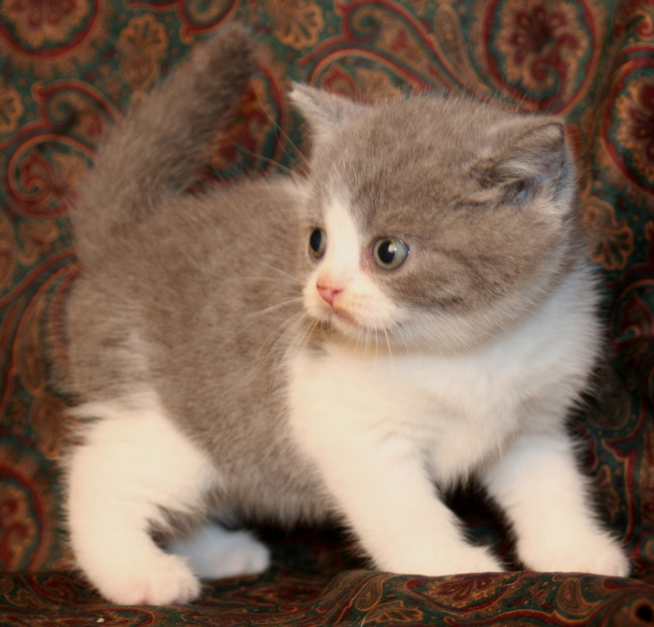 Blue British Short hair Kittens Animals 2