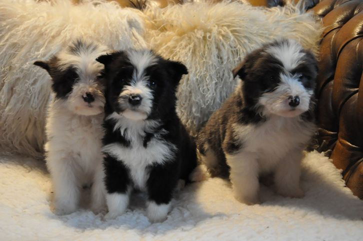 Border Collie Puppies Pure Bred Animals