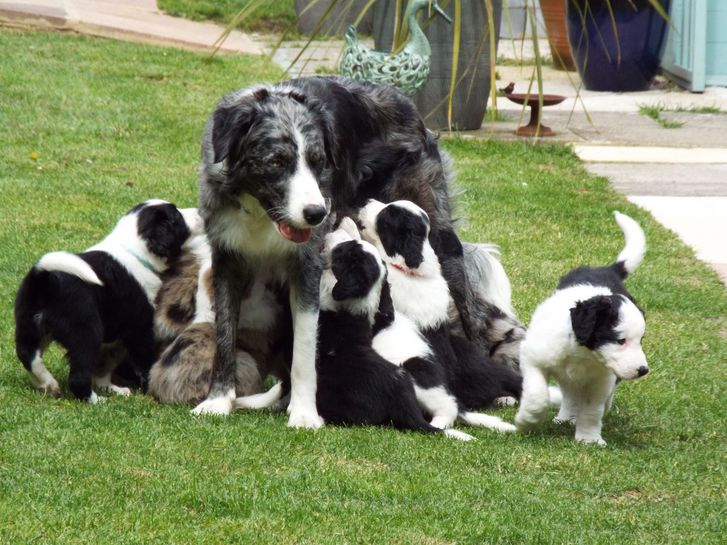 Border Collies  Animals