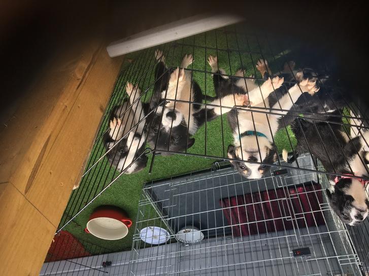 Border collie puppies  Animals 2