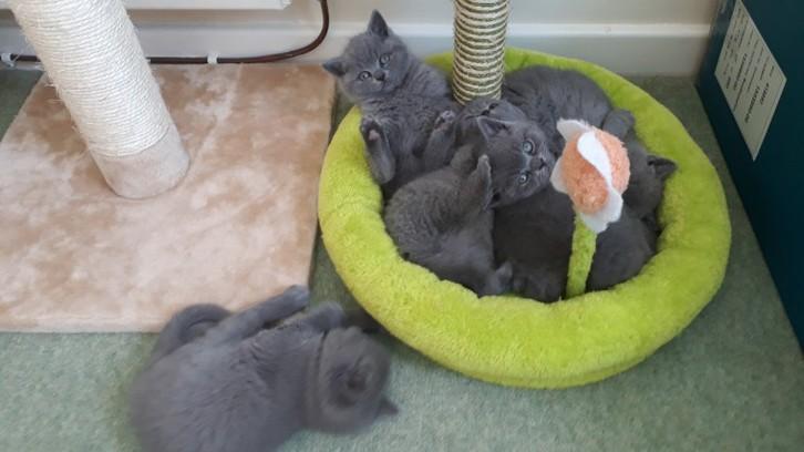 British Shorthair Kittens for Sale Animals