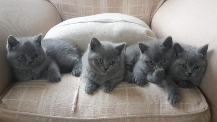 British Shorthair Kittens for Sale Animals 2