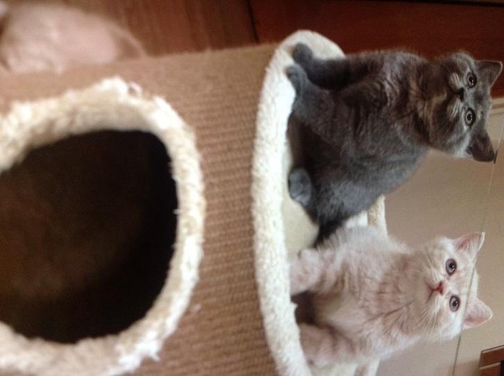 British shorthair kittens top quality Animals