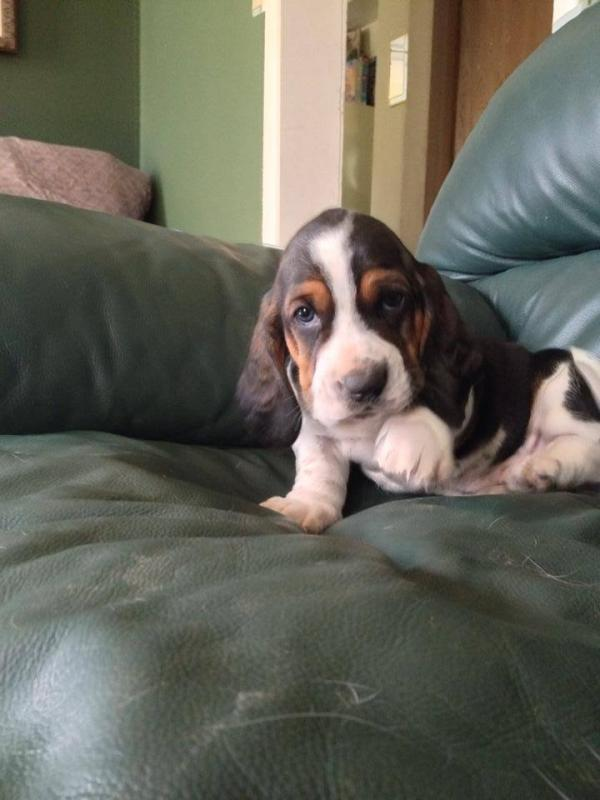 C.K.C Basset Hound Puppies Available For Rehoming Animals