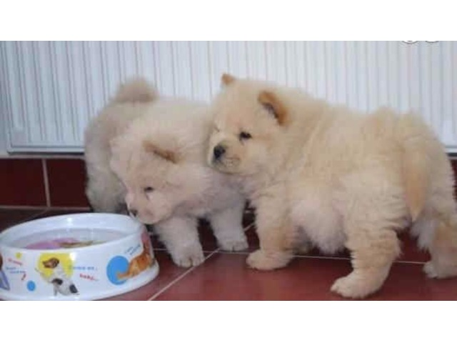 CHOW CHOW PUPPPIES NOW READY TO GO Animals