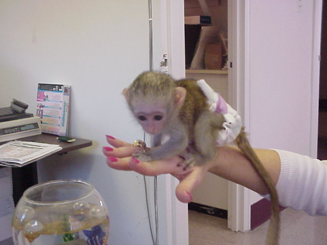 Capuchin Monkeys for sale and adoption. ..whatsapp me at: +447418348600 Animals