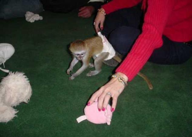 Capuchin monkeys diaper trained, Animals