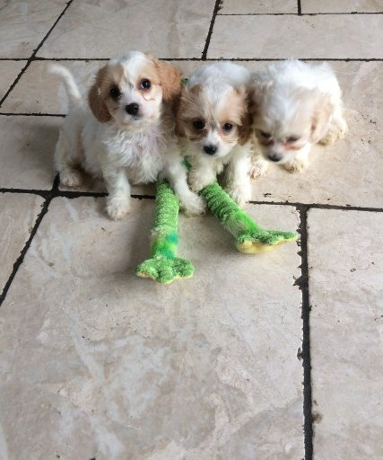 Cavachon Puppies - Ready Now Animals 2