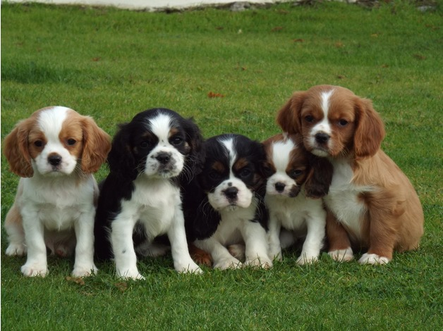 Cavalier King Charle Spaniel Animals