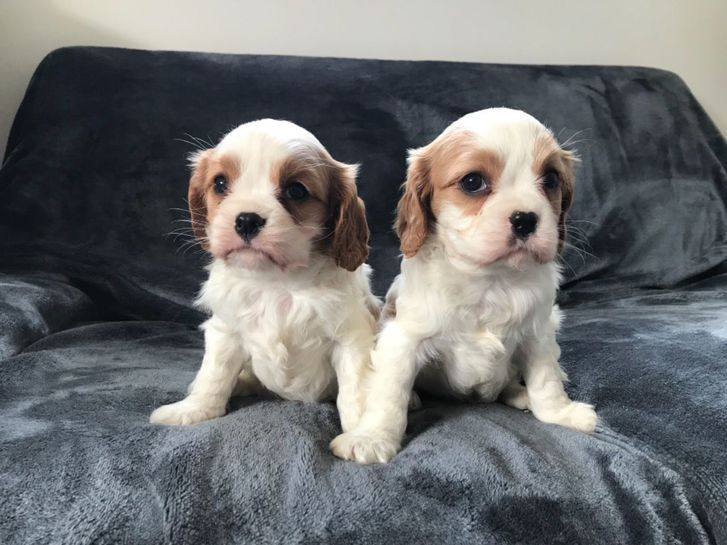 Cavalier King Charles Puppies!! Fully Health Tested Lines. Animals