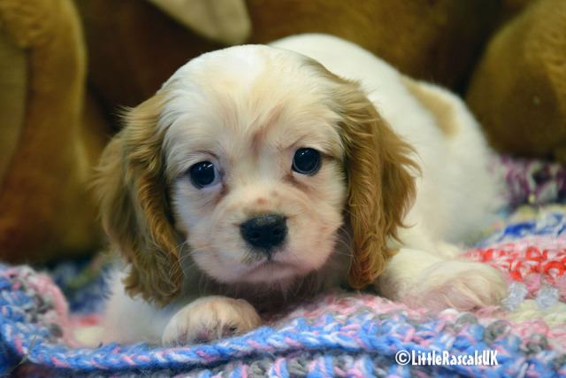 Cavalier King Charles Puppies for sale Animals 3