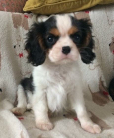 Cavalier King Charles Spaniel Puppies For Sale Animals