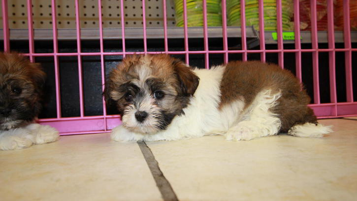 Charming Havanese Purebred Puppies Animals