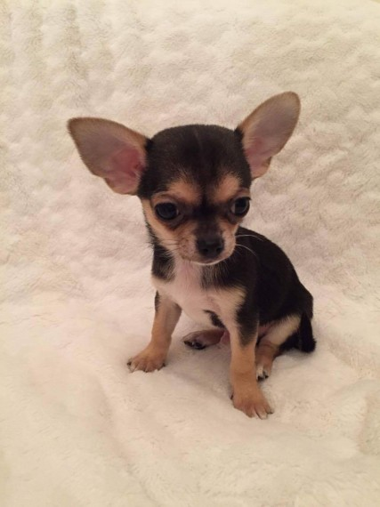 Chihuahua Puppies Ready For Adoption Animals
