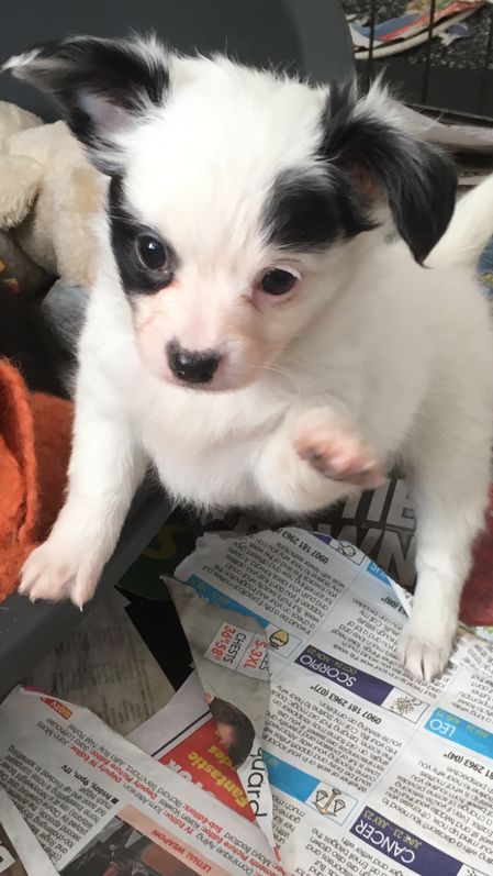 Chihuahua x Papllion pups Animals 2