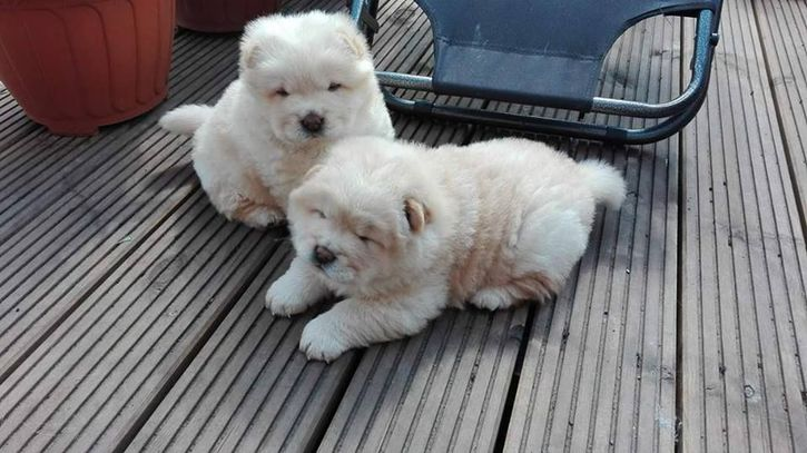 Chow Chow Cream Puppies Animals