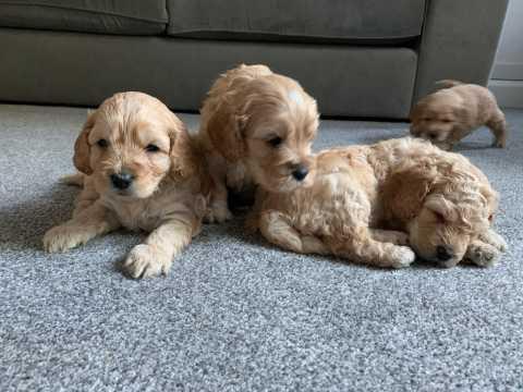 Cockapoo Puppies Animals