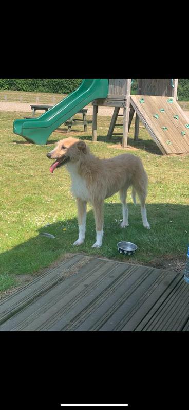 Collie X lurcher puppies  Animals 4