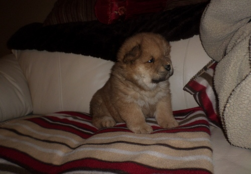 Creram Chow Chow Puppies Animals 3