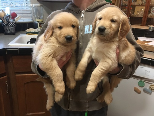 Cute Golden Retriever for a pet loving and caring home Animals