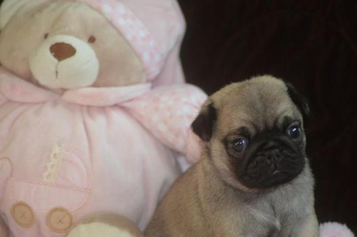 Cute and adorable pug puppies ready for rehoming Animals 2